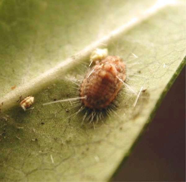 Cottony Cushion Scale The Pest That Launched A Revolution In Pest